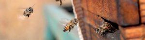 african honey bee 02 300x84 -