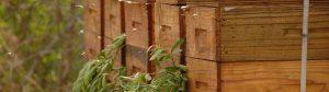 african honey bee 03 300x84 -