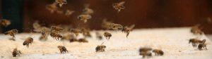 african honey bee 07 300x84 -