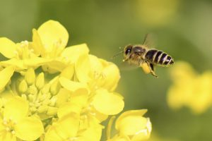 honey bee 300x200 -