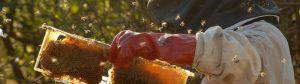 african honey bee 06 300x84 -