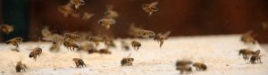 african honey bee 07 300x84 -